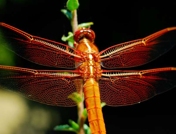 aka-tonbo-red-dragonfly.jpg