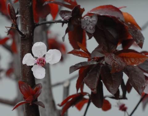 Prunus cerasifera spring plum blossom.jpg